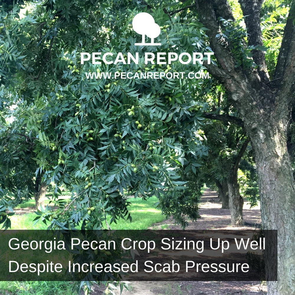 GEORGIA CROP SIZING UP WELL DESPITE INCREASED SCAB PRESSURE